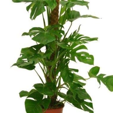 Liane robuste, de culture facile, utilisée pour son feuillage, large et imposant.   Philodendron ...