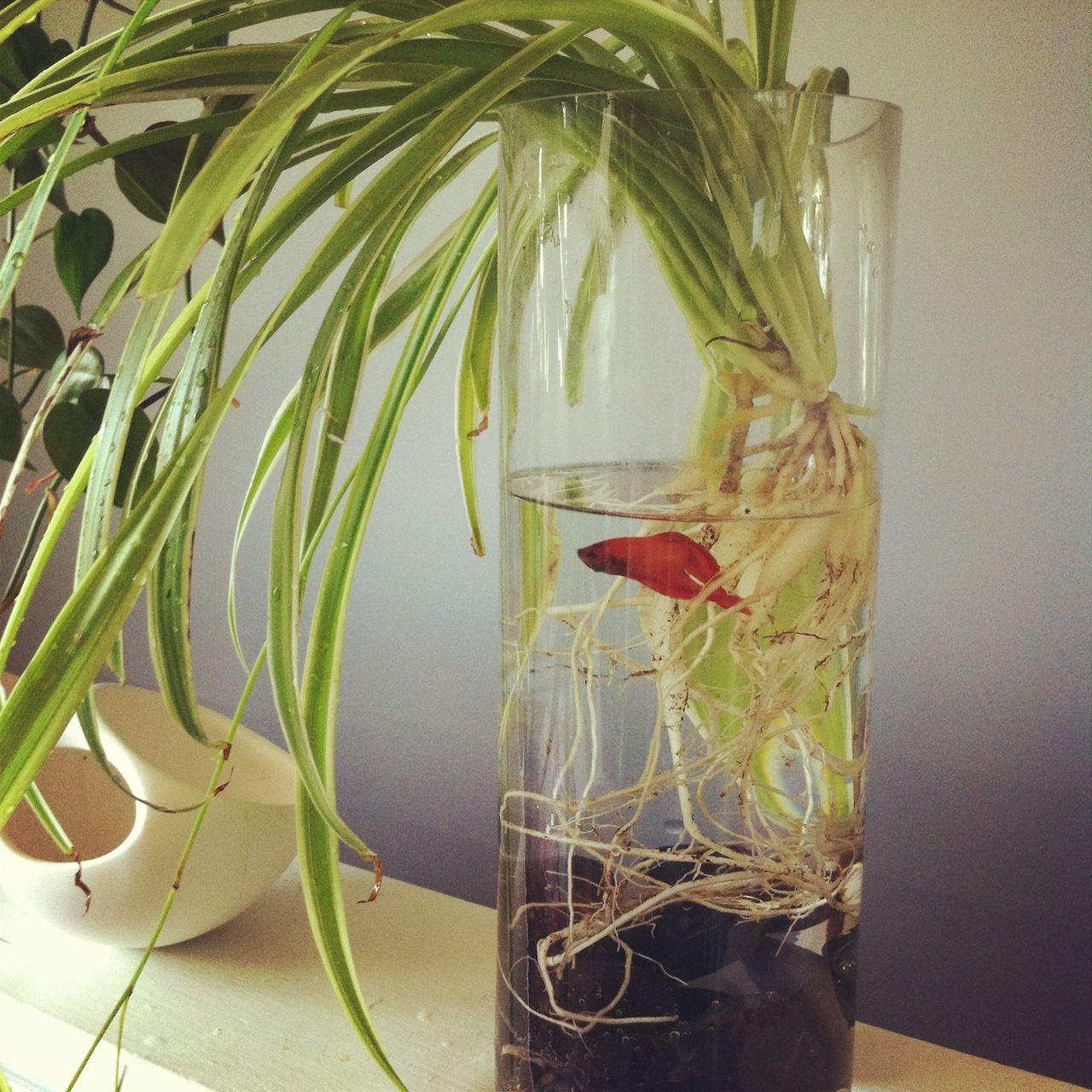 Z a b a z a n g hydroponics pinterest fish betta for Betta fish plant
