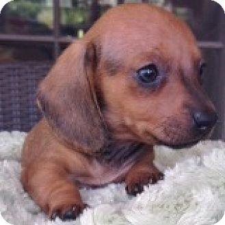 Houston Tx Dachshund Meet Anne Elizabeth Harris A Puppy For
