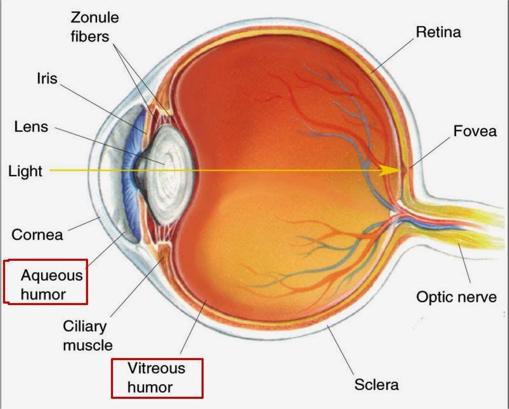 aqueous humor google search eyeball diagram human anatomy chart eye anatomy anatomy [ 1000 x 803 Pixel ]