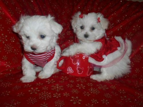 Gorgoues Babydoll Faces Maltese Boy Girl Cute Little Animals Teacup Puppies Maltese Maltese Yorkie Puppy