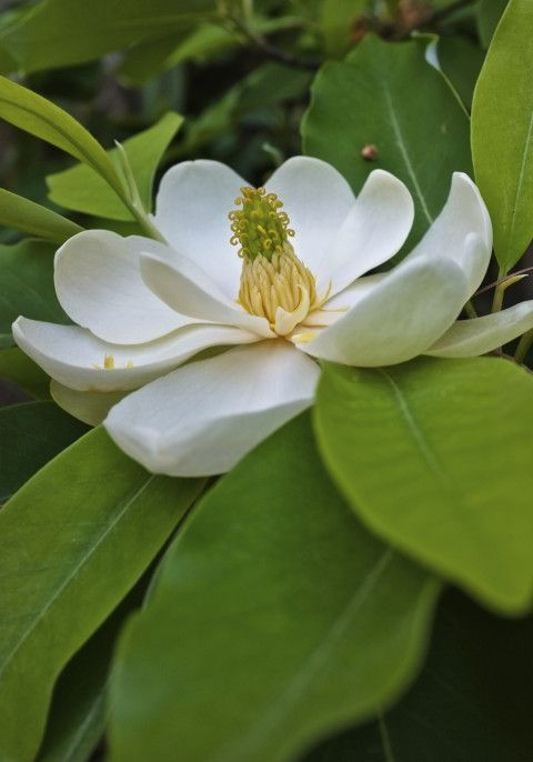 Sweetbay Magnolia Virginiana Gloucester Massachusetts Flores Brancas Flores