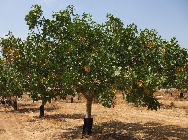 m s de 20 ideas incre bles sobre arbol del pistacho en