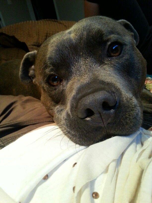 Best Little Snuggle Boy English Staffordshire Bull Terrier Blue