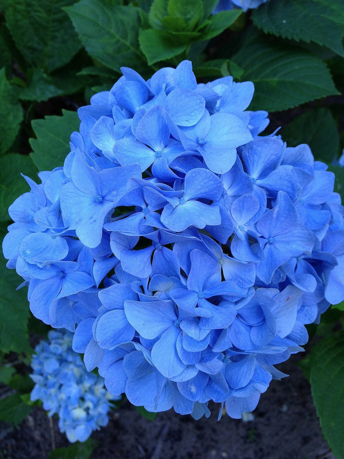 This trick will magically turn the shade of your hydrangeas this trick will magically turn the shade of your hydrangeas hydrangea bushblue hydrangeablue flowershydrangeasflowering izmirmasajfo
