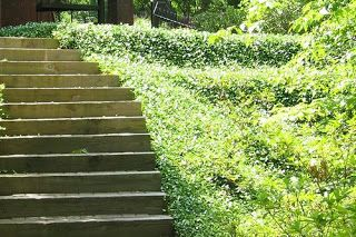 Greetings From Earth Vigorous Ground Cover Asiatic Jasmine Ground Cover Ground Cover Plants Landscaping A Slope