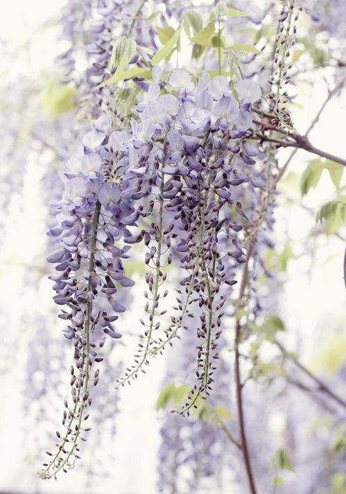 wisteria bloom spring now please pinterest glyzinie pflanzen und pergola. Black Bedroom Furniture Sets. Home Design Ideas