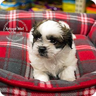 Lovables Mesa Az Shih Tzu Dachshund Mix Meet Cloe A Puppy For