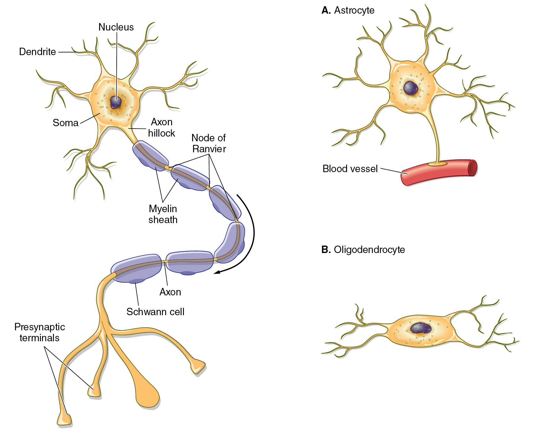 Illustrations Of A Typical Neuron And The Glial Cells Astrocyte And Oligodendrocyte With Nucleus