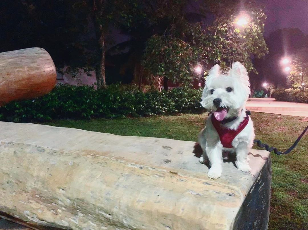 After The Missing Pet Wandered Inside A Merchantcity Bar This Is An Appeal To Reunite The Dog With His Ownerr Overweight Dog Scottie Terrier Westies