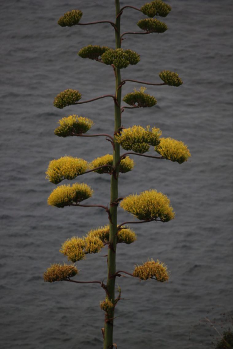 La Fleur D Agave Ne Se Trouve Pas Qu Au Mexique Flower Nature