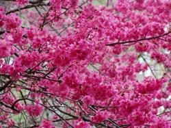 Taiwan Flowering Cherry Flowering Trees Cherry Plant Landscaping Trees