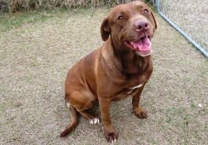 0033 Rusty Is An Adoptable Chocolate Labrador Retriever Dog In