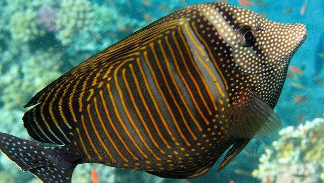 Sailfin Tang Animales Marinos Animales Mar