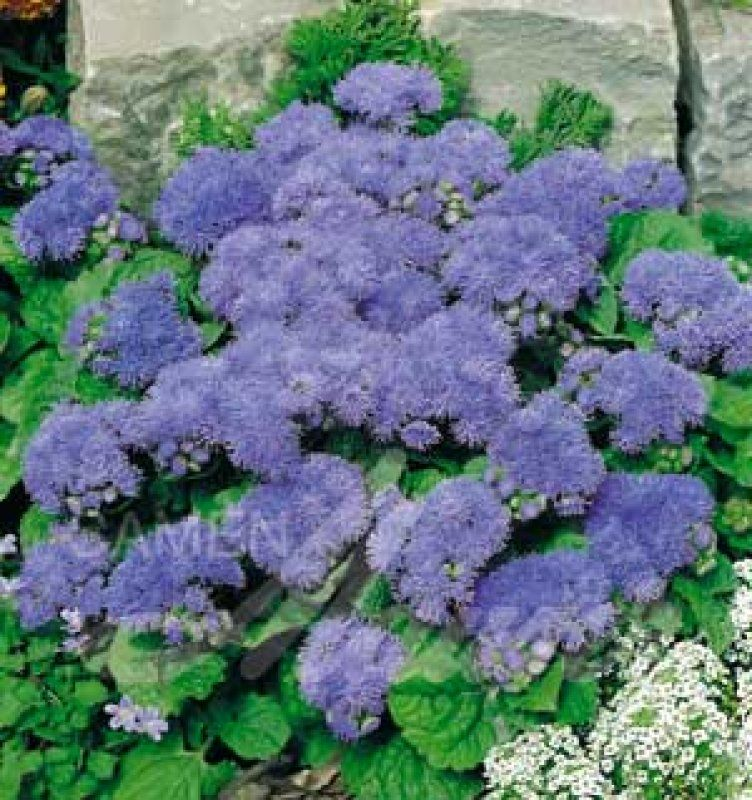 leberbalsam 39 blaue donau f1 39 ageratum houstonianum flowers pinterest blumensamen blau. Black Bedroom Furniture Sets. Home Design Ideas
