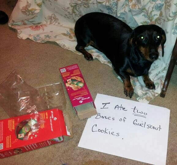 Dog Shaming Ate Two Boxes Of Girl Scout Cookies Dog Shaming