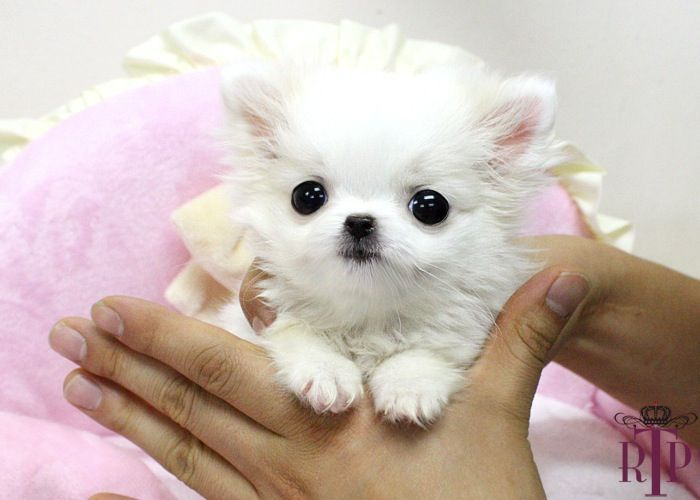 Teacup Chihuahua Tinker Bell* Adorable LC Micro