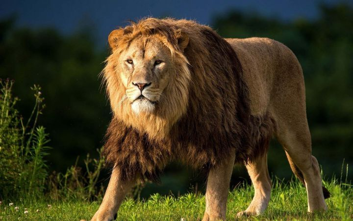 Hd Wallpaper Of The King Of The Jungle For My Android Downloaded