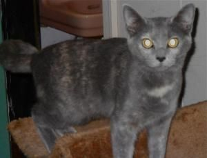 Archie Girl Is An Adoptable Russian Blue Cat In Manchester Nh 2 1 12 Courtesy Posting Archie Girl Is A Total Fli Russian Blue Cat Russian Blue Funny Animals
