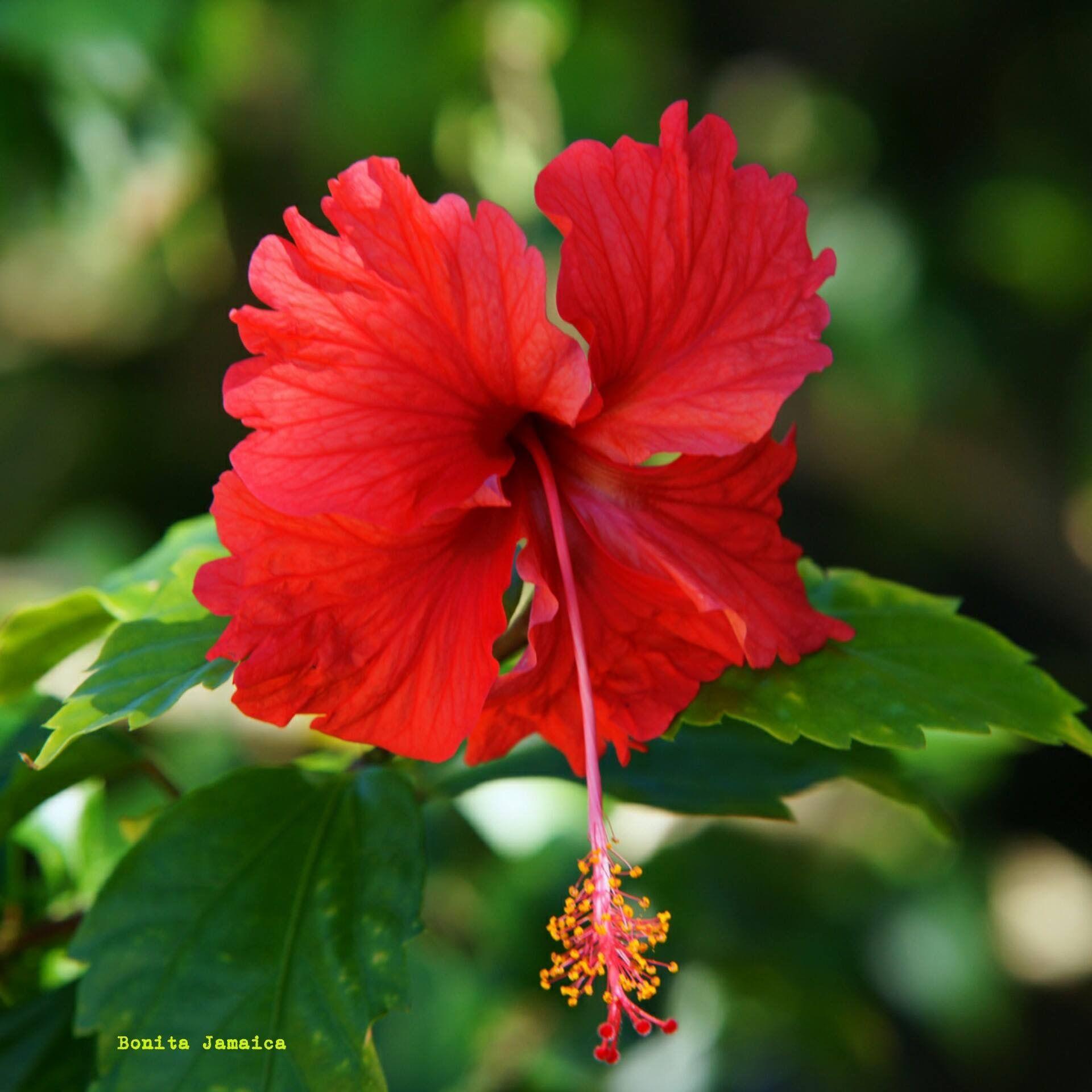 Jamaica flowers jamaica pinterest caribbean jamaica flowers izmirmasajfo