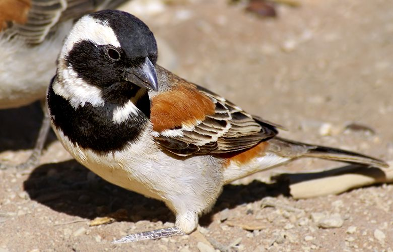 Cape Sparrow (Passer melanurus) is brightly coloured and distinctive.