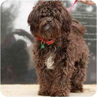 Full Grown Chocolate Schnoodle Google Search Schnoodle Dog Schnoodle Doggy