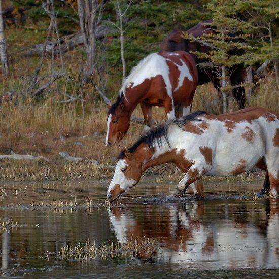 wild horse stallion mustang american WOW MADE,BRED AND GROWN IN THE U.S.A.!! YAHOOOOOO!! Pretty fellows!