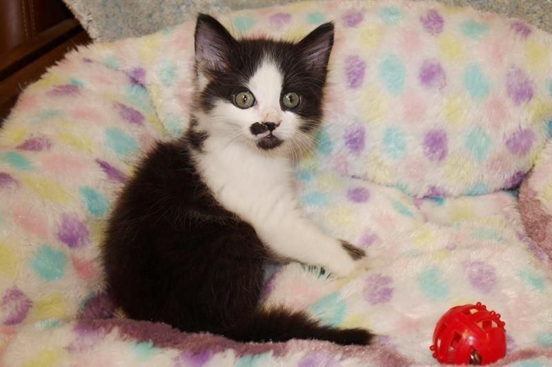 Adopt Charlie on Long haired cats, Cats, kittens, Animals