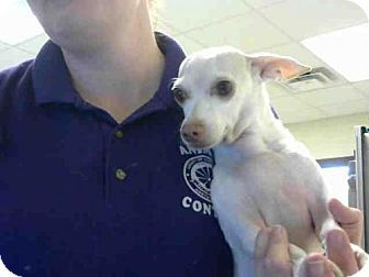 Fayetteville Nc Chihuahua Meet Pup A Dog For Adoption Http