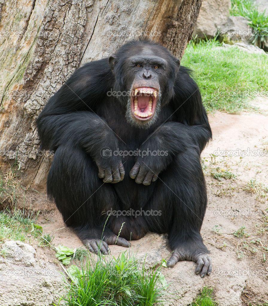 Chimpanzee Attack Scary Gorilla Angry Monkey