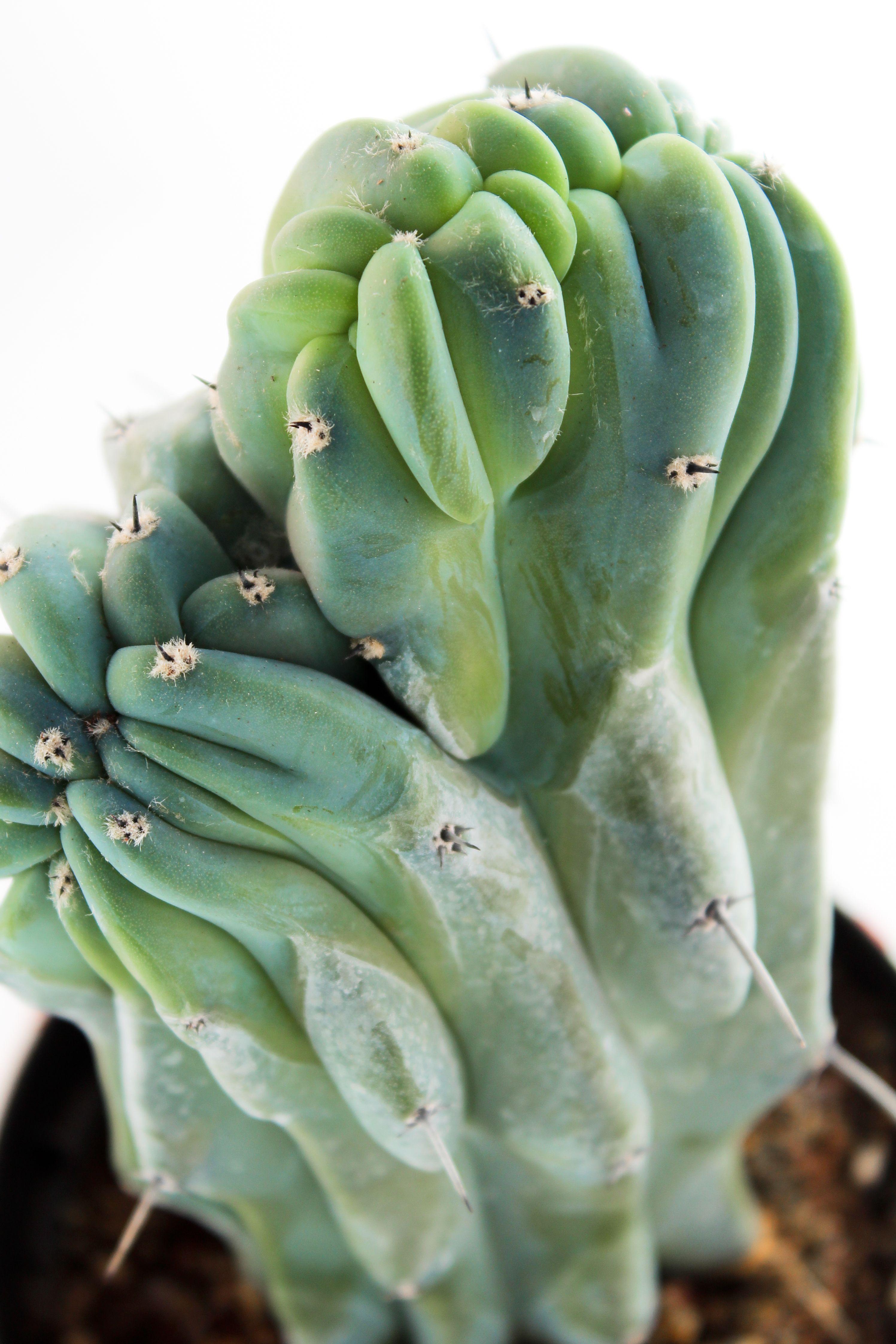 Myrtillocactus Geometrizans Crestato Fioritura Cactus Piante