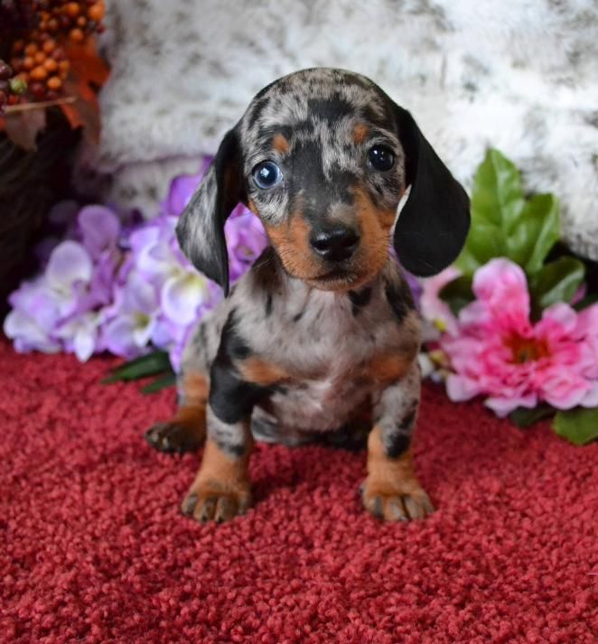 Mini Dachshund Puppies For Sale Black Tan Doxie Breeder Short Hair
