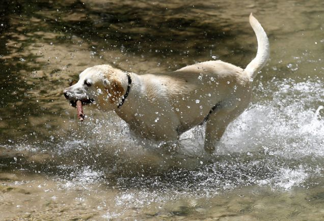 Utah Al Hartmann The Salt Lake Tribune Max A Yellow Labrador Chases A Stick In One Of Two Designated Spots On T Dog Area Dog Park Dogs And Puppies