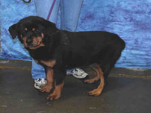Rottweiler Dog For Adoption In Louisville Ky Adn 712630 On