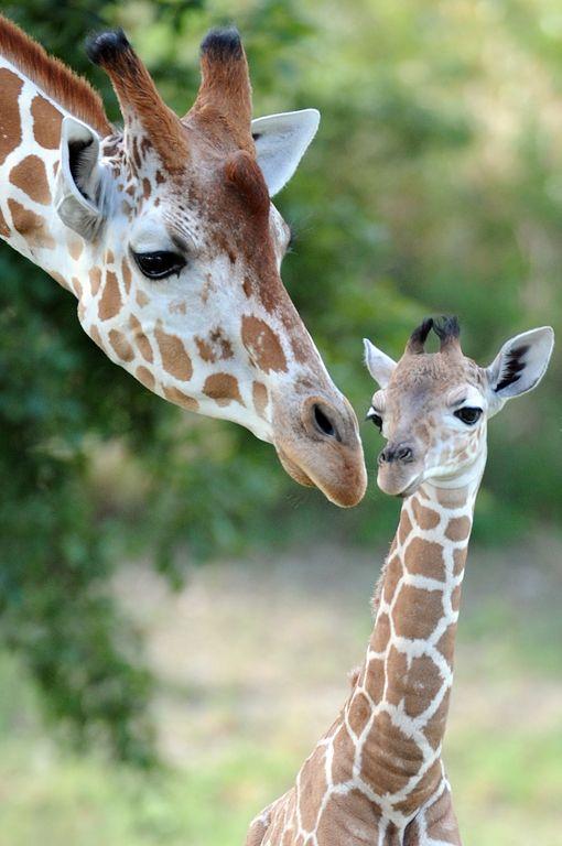 Baby giraffe make Zoo Miami debut   Home - News