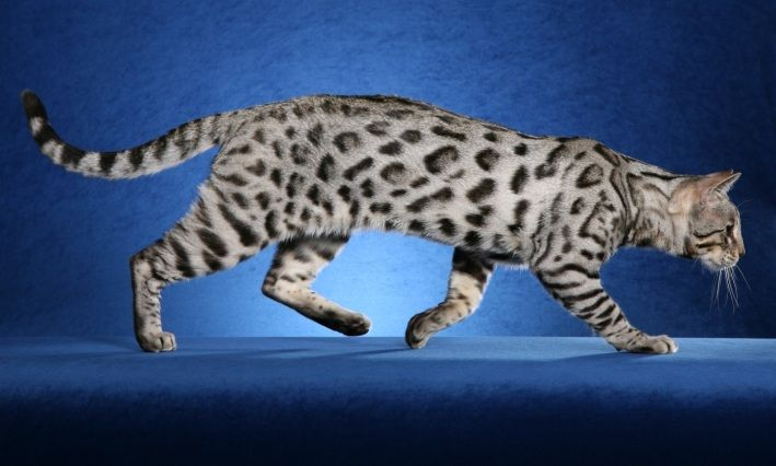 Bengal Cat Silver Chinchilla Persian Cat Silver Bengal Cat Bengal Cat Beautiful Cats