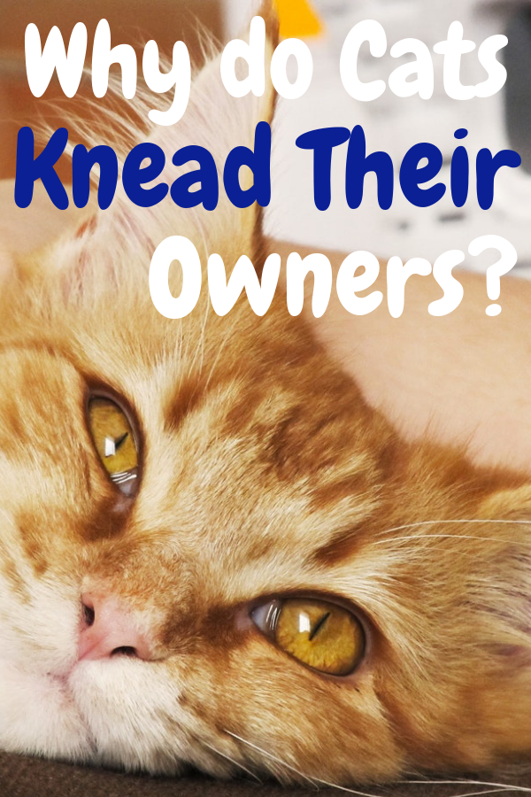 Why Do Cats Knead Their Owners? red cat, Tabby cat, cats