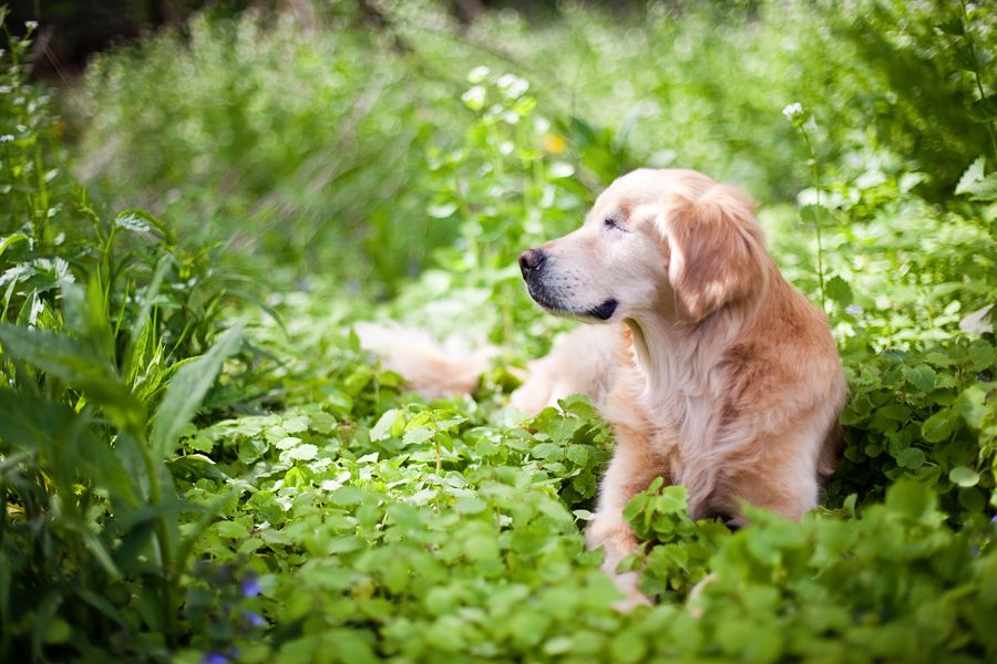 Smiley The Golden Retriever By Happy Tails Pet Photography Dogs