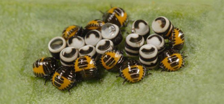 Prime Harlequin Bug Pest Identification For Vegetable Gardens Home Interior And Landscaping Eliaenasavecom