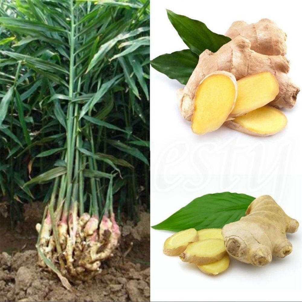 100pcs Gardening Seeds Ginger Seeds 4 Seasons Fast Grow Ginger