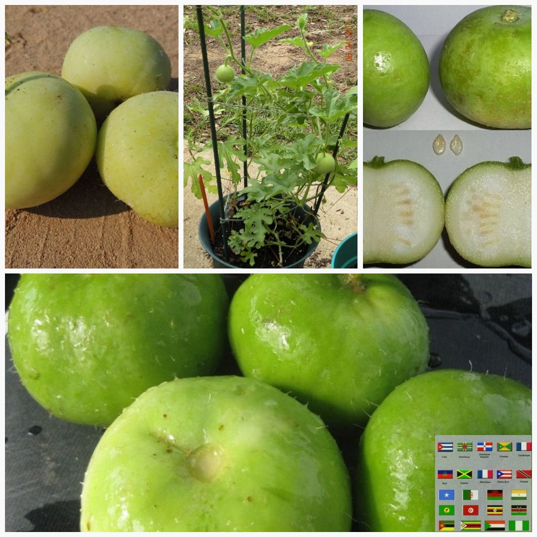 Tinda Gourd Seeds Asian Vegetables Indian Round Melon Apple