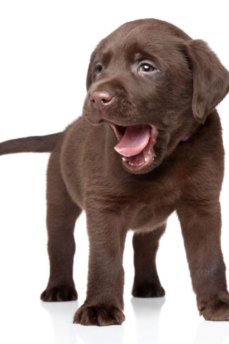 Brown Labrador Puppy On White Background Labradorretriever Labrador Retriever Labrador Labrador Retriever Puppies