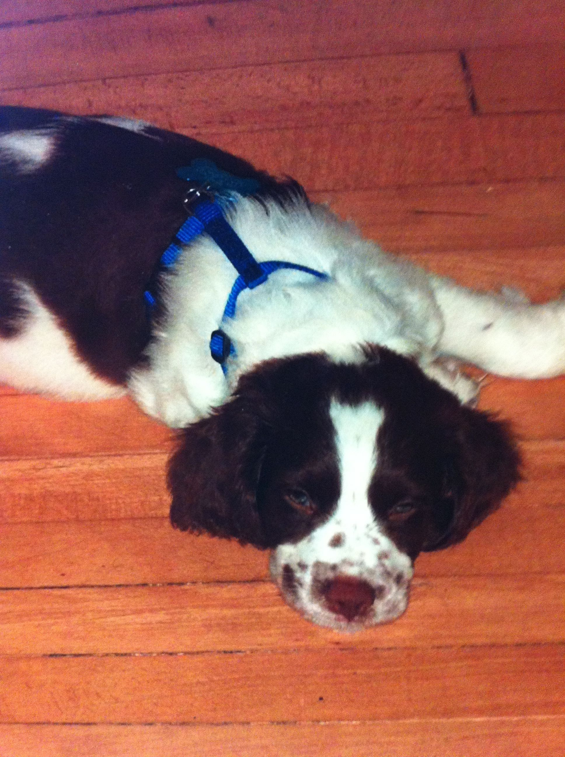 Brittany puppy brittany puppies brittany spaniel pets