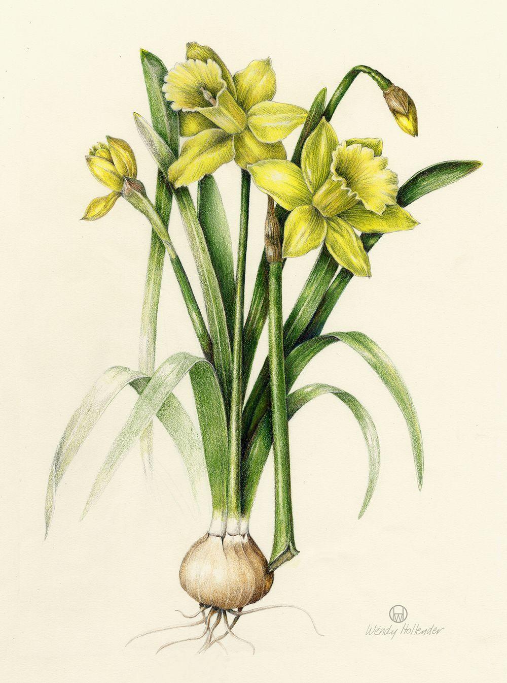 Flowers paintings of daffodil vintage daffodil pinterest