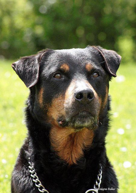 The 10 Best Guard Dog Breeds Best Guard Dogs Best Guard Dog