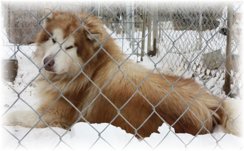Giant Malamute Rare Red White Puppies For Sale Ok Tx Pa Nj Co Oh