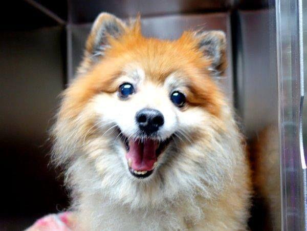 Super Urgent 6 28 14 Manhattan Center Cheetos A1004726 Male Brown White Pomeranian Mix 8 Yrs Stray Pomeranian Mix Dog Adoption Losing A Dog