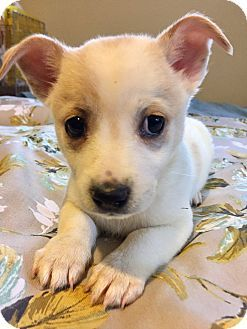 Santa Ana Ca Corgi Dachshund Mix Meet Coconut A Puppy For