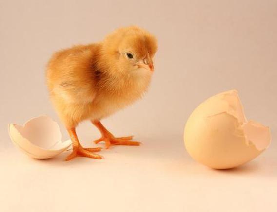 Industria delle uova: è giusto evitare lo sterminio dei pulcini maschi con le uova OGM