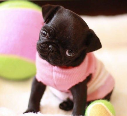 """""""I gonna hafta give you kisses. Get ready!......."""" cute pugs - Google Search"""